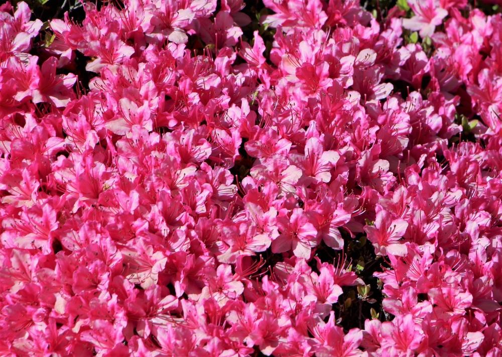 IMG_1552 punainen kukkamatto